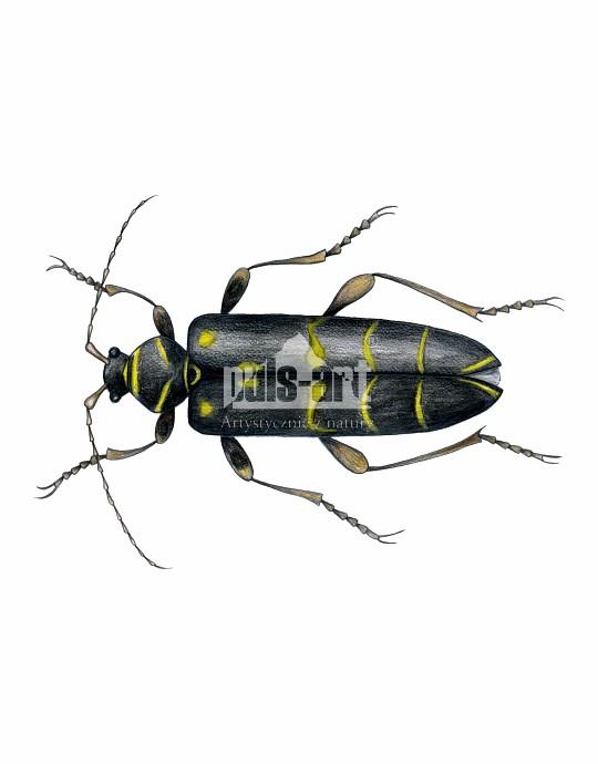 Paśnik pałączasty (Plagionotus arcuatus)
