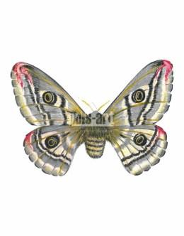Pawica grabówka (Saturnia pavonia)