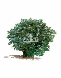 Pęcherznica kalinolistna (Physocarpus opulifolius)