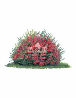 Pigwowiec japoński (Chaenomeles japonica)