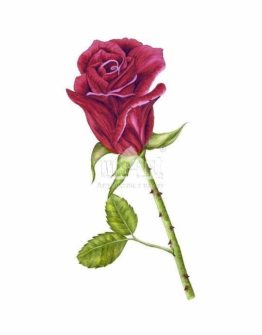 Róża bordo