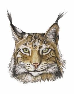 Ryś euroazjatycki (Lynx lynx)