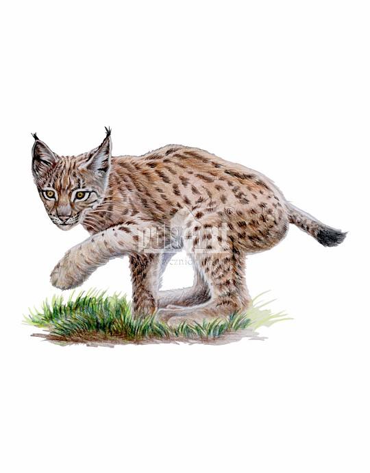 Ryś europejski (Lynx lynx)