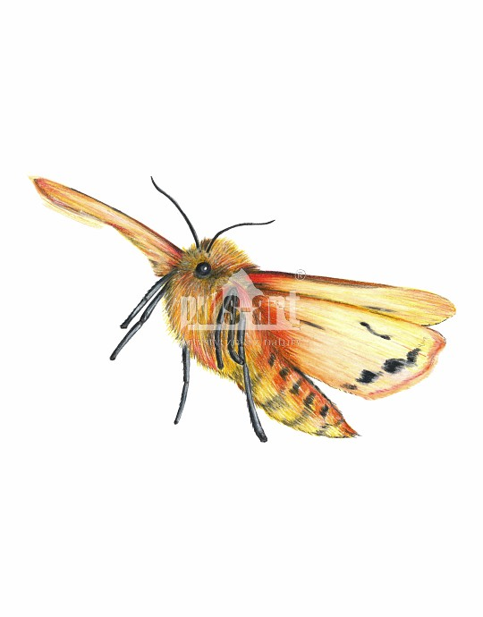 Sadzanka rumienica (Phragmatobia fuliginosa)