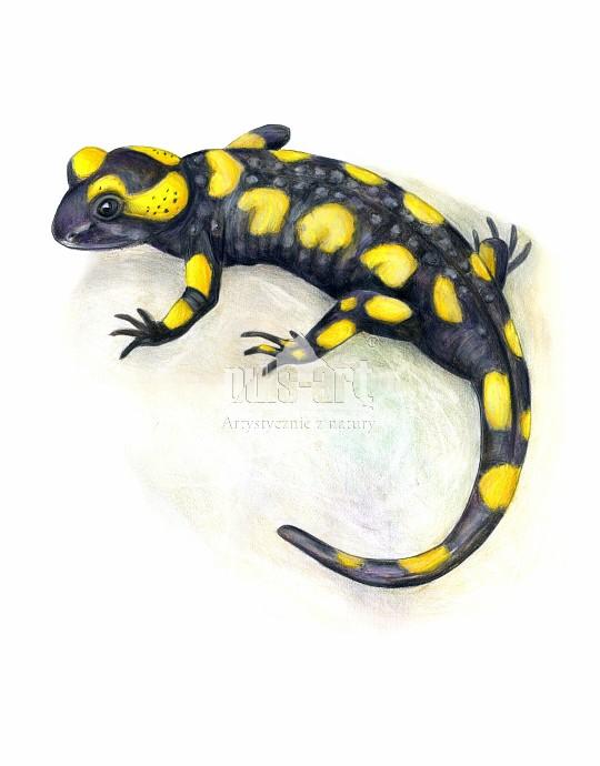 salamandra plamista (Salamandra salamandra)