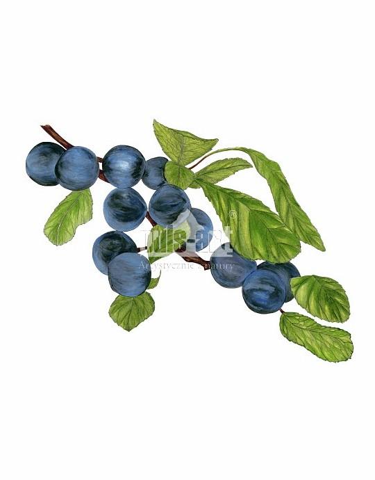 Śliwa tarnina (Prunus spinosa)