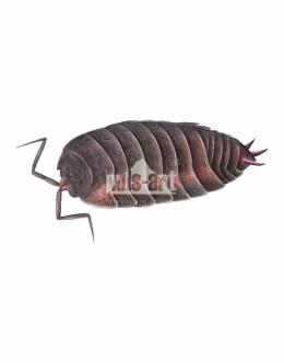 Stonoga murowa (Oniscus asellus)