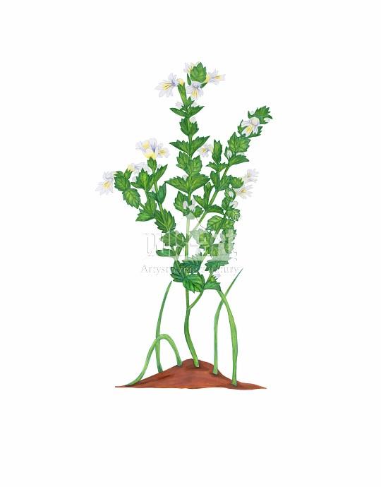Świetlik łąkowy (Euphrasia rostkoviana)