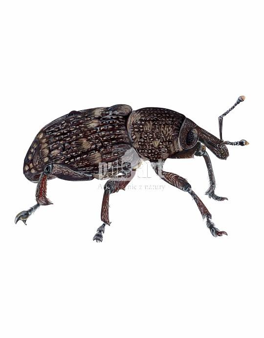 Szeliniak sosnowy (Hylobius abietis)