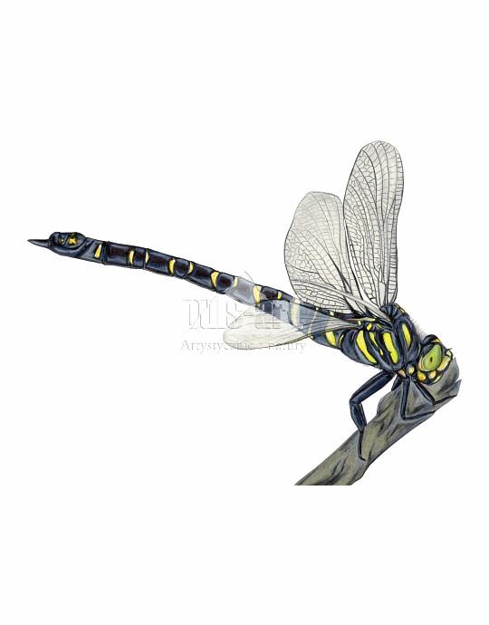 Szklarnik leśny (Cordulegaster boltonii)