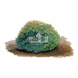 Tawuła drobna (Spiraea japonica)
