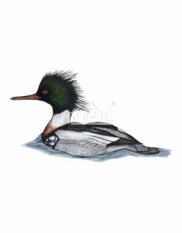 Tracz długodzioby (Mergus serrator)