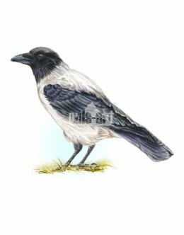 Wrona siwa (Corvus corone)