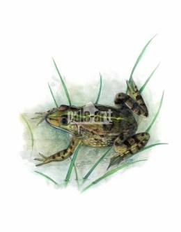 Żaba śmieszka (Pelophylax ridibundus)