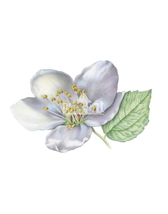 Kwiat makro 2