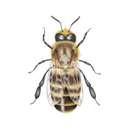 Pszczola miodna - truten (Apis mellifera)