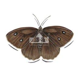 Skalnik driada (Minois dryas)