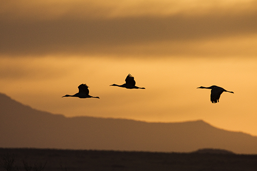 Silhouetted Sandhill Cranes Flying