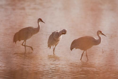Sandhill Cranes behind Reeds