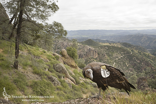 California Condor in Pinnacles National Monument