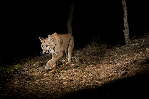 Juvenile Mountain Lion Walking at Night