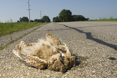 Great Horn Owl Roadkill, this was one of the most 'intact' dead animals we saw
