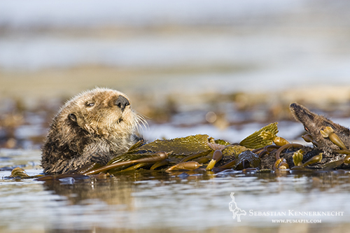 Sea Otter wrapped in kelp, Moss Landing, Monterey Bay, California