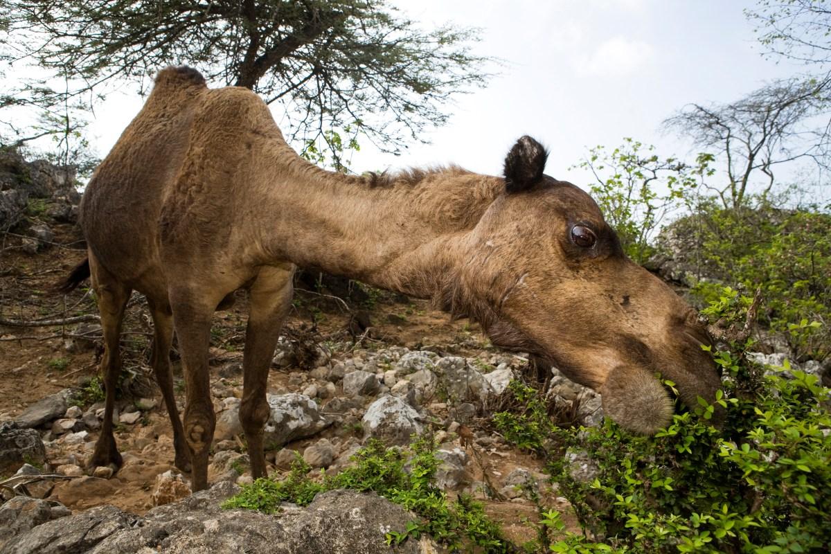 Dromedary (Camelus dromedarius) camel browsing on Acacia (Acacia sp) bush, reducing food for native herbivores, Hawf Protected Area, Yemen