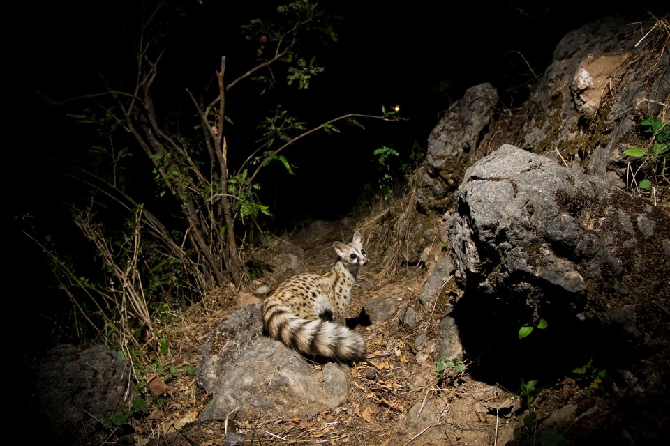 Small-spotted Genet (Genetta genetta) at night, Hawf Protected Area, Yemen
