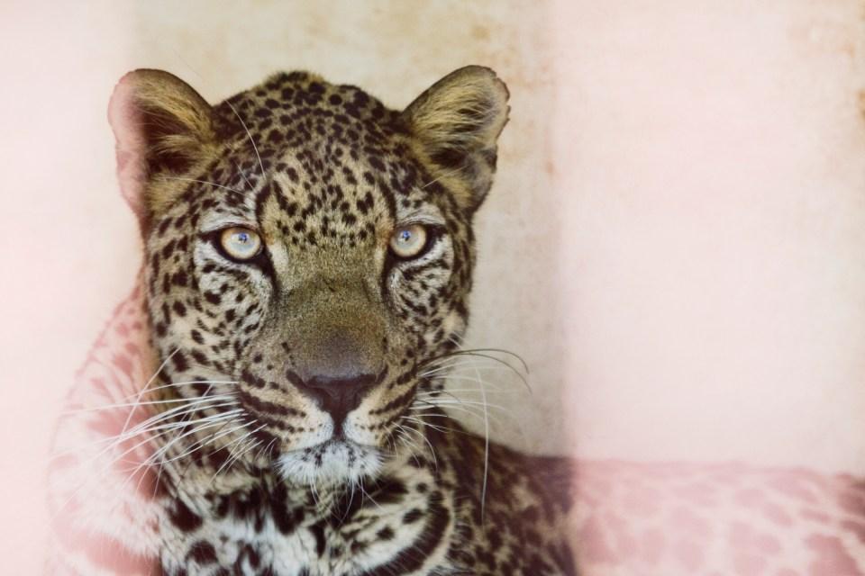 Arabian Leopard (Panthera pardus nimr) male behind bars, Sana'a Zoo, Sana'a, Yemen