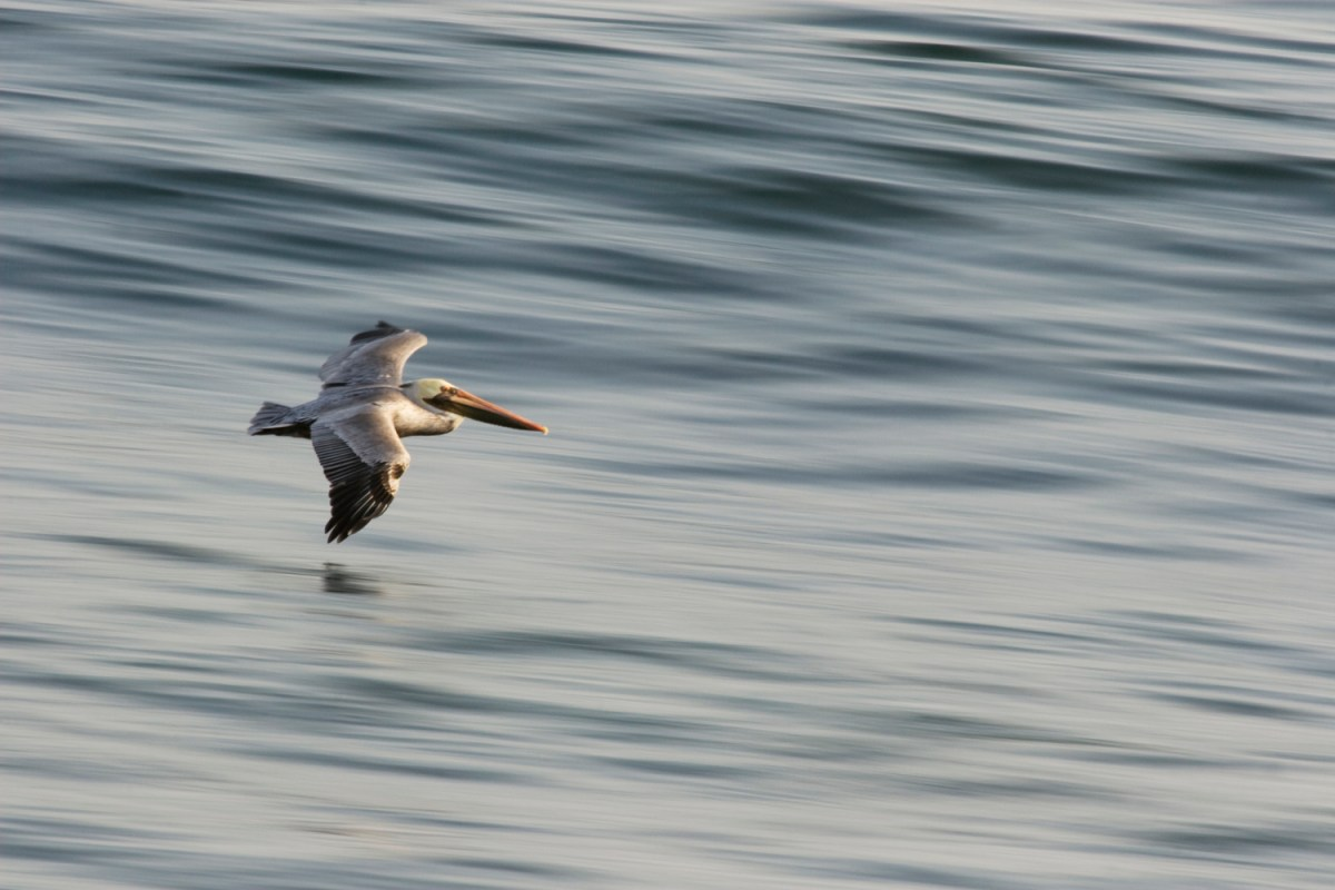 Brown Pelican (Pelecanus occidentalis) gliding over ocean, Santa Cruz, Monterey Bay, California