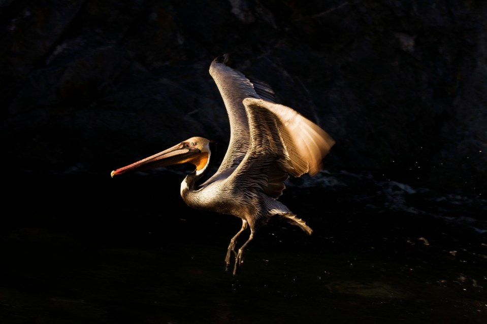 California Brown Pelican (Pelecanus occidentalis) taking flight from creek, Big Sur, California