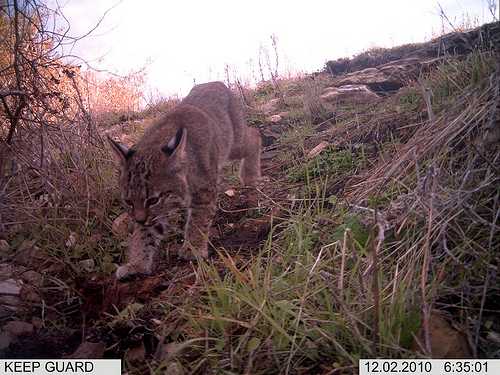 Camera Trap Image: Bobcat - Copyright Jake Kirkland