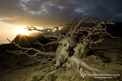 Desert Rose (Adenium obesum) plant at sunset, Hawf Protected Area, Yemen