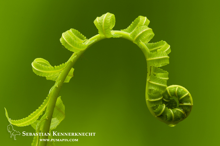 Fern with water droplet, Tawau Hills Park, Sabah, Borneo, Malaysia