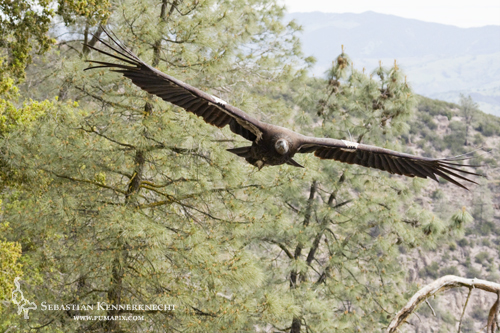 Junile California Condor male flying in Pinnacles
