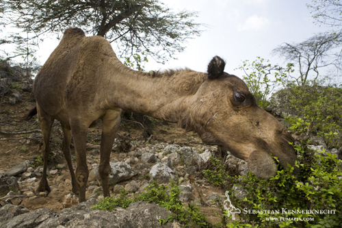Camel feeding on acacia, Hawf Protected Area, Yemen