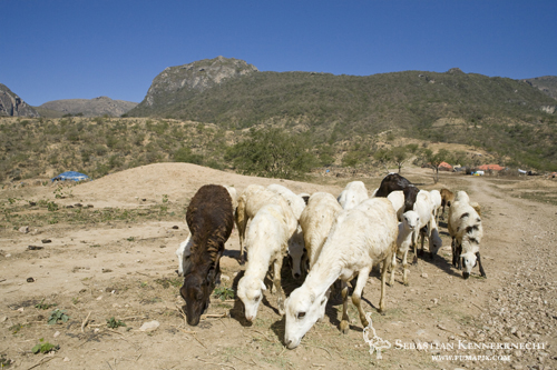 Sheep grazing, Hawf Protected Area, Yemen