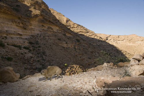 Rock Hyrax (Procavia capensis), Hawf Protected Area, Yemen