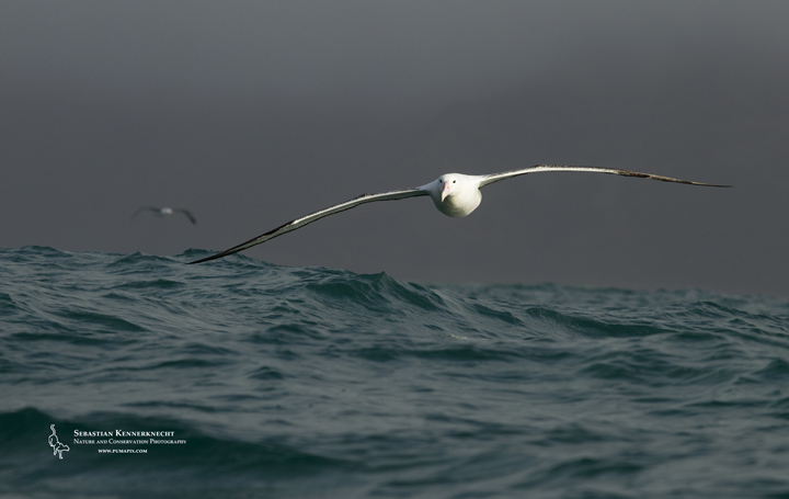 Southern Royal Albatross in Flight, Kaikoura, South Island, New Zealand