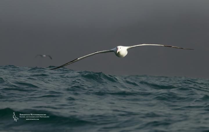 Free Royal Albatross Wallpaper