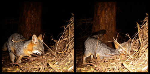 Camera Trap Image: Gray Fox - Copyright Christian Naventi