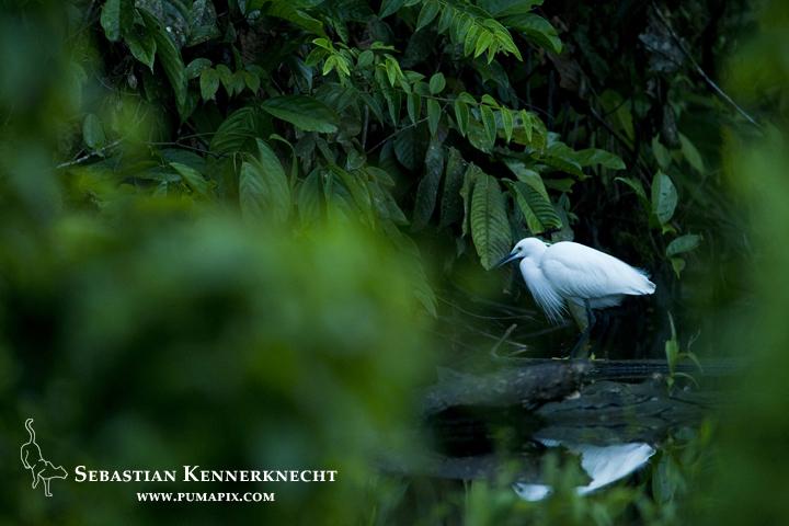 Little Egret (Egretta garzetta) in breeding plumage, Tawau Hills Park, Sabah, Borneo, Malaysia
