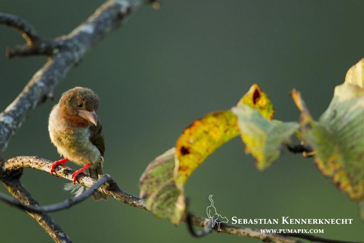 Brown Barbet (Calorhamphus fuliginosus) female, Sepilok Forest Reserve, Sabah, Borneo, Malaysia