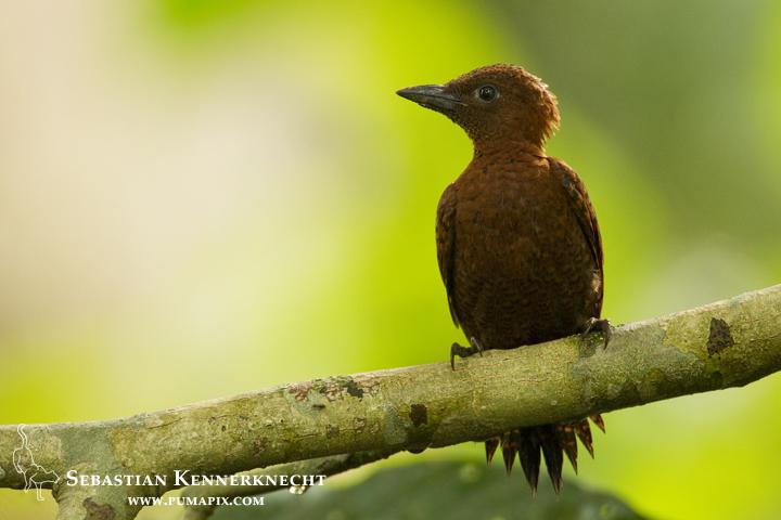 Rufous Woodpecker (Celeus brachyurus) female, Sepilok Forest Reserve, Sabah, Borneo, Malaysia