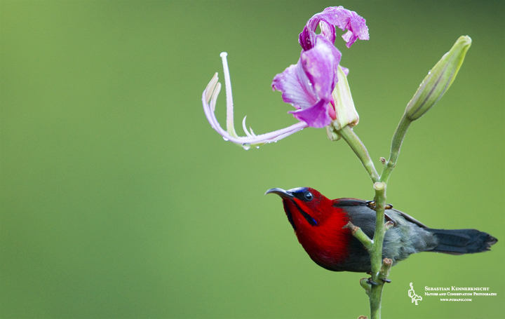 Crimson Sunbird (Aethopyga siparaja) male on flower, Tawau Hills Park, Sabah, Borneo, Malaysia