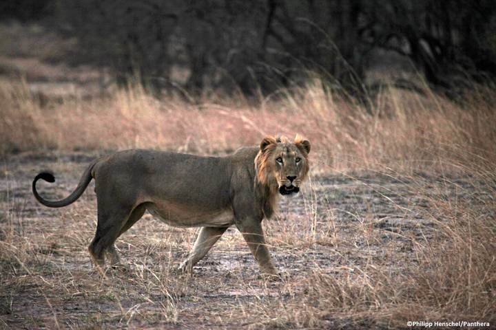 A male lion in Pendjari National Park during Panthera's survey of the W-Arly-PendjariComplex, located in Benin, Burkina Faso, and Niger – 2012Credit: Philipp Henschel/Panthera