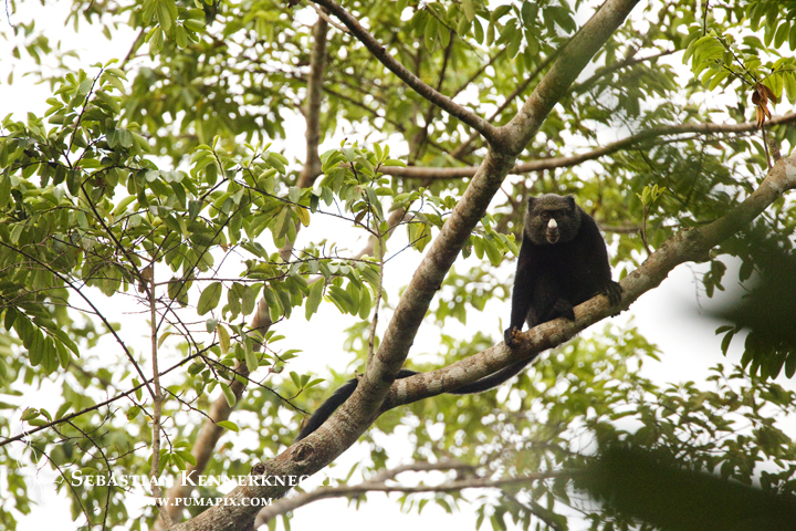 White-nosed Guenon (Cercopithecus nictitans) in tree, Lope National Park, Gabon