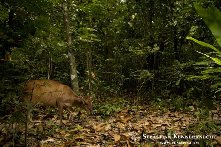Ogilby's Duiker (Cephalophus ogilbyi) in tropical rainforest, Lope National Park, Gabon