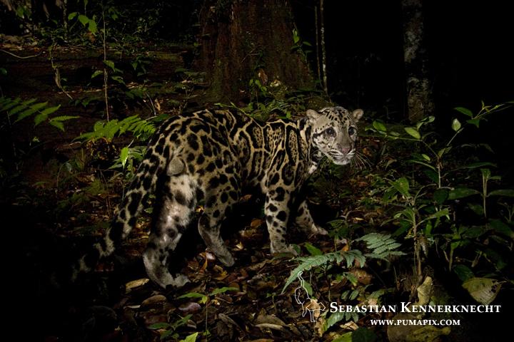 IMG_93062_Sunda_Clouded_Leopard_Malaysia_Sebastian_Kennerknecht